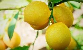 New Tree New Lemons